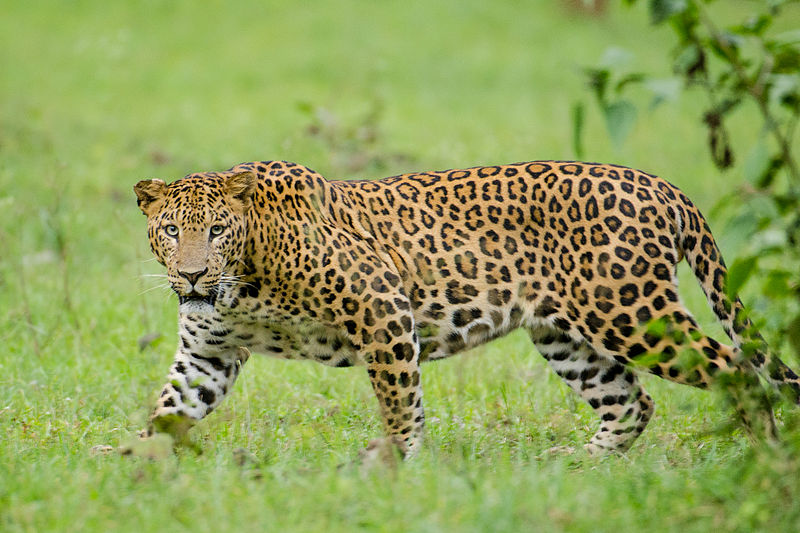 Dead leopard found in Odisha's Forest